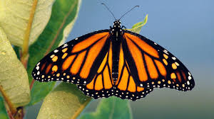 Image result for pic of monarchs