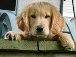 a dog s purpose bailey. Wonderful Bailey Themovie22ADog27sPurpose22warmed Intended A Dog S Purpose Bailey U