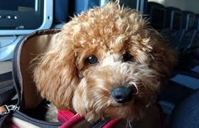 traveling with pets importation cdc
