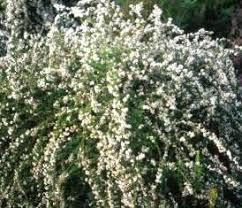 Cape Snowbush
