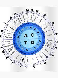 Codon Chart Circle Dna Genetic Code Circle Gene Codon Amino Acid Poster