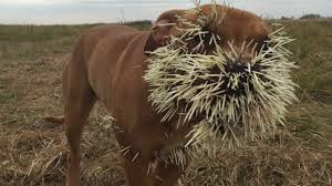 three dogs encountered porcupine outcome was as bad you d expect three dogs encountered porcupine outcome was as bad you d expect