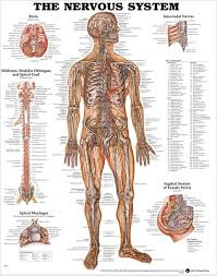 Chiropractic Body Chart Nervous System Chart