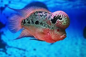 Ciri Ciri Ikan Louhan Mau Mati