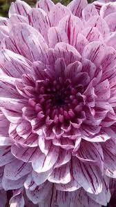 Iphone Purple Flower Wallpaper 4k ...