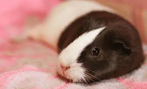 the 9 best bedding for guinea pigs 2020
