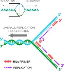 Biology Replication Shmoop Biology