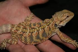 picture juvenile bearded dragon