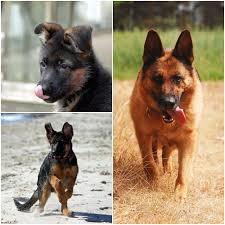 German Shepherd Puppy Behavior Development Stages