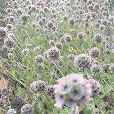 Scabiosa | Siskiyou Seeds
