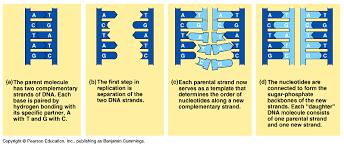 Dna Replication Process
