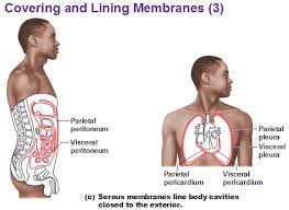 Classification Of Covering And Lining Membranes Complete The Following Chart Three Types Of Membrane