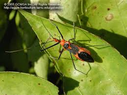 the milkweed assassin bug provides excellent insect control and has distinctive red and black coloration during on mild days milkweed assassin bugs