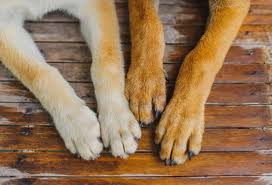 treating nail bed infections in dogs