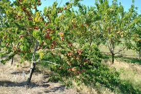 The Best Dwarf Fruit Trees To Grow In Pots FruitGardening My Cherry Fruit Tree Care