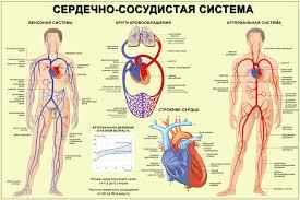 Сердце Сердечно сосудистая система Бодибилдинг форум  Сердце Сердечно сосудистая система