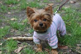 teacup yorkies information about the appearance of world s smallest dog