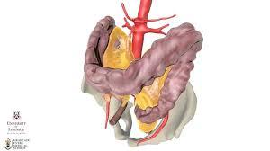 The ileocecal valve of the ileum (small intestine) passes material into the large intestine at the cecum. Small Intestine Anatomy Britannica
