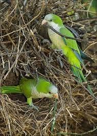 Resultado de imagen de fotos de Cotorra (Myiopsitta monachus)