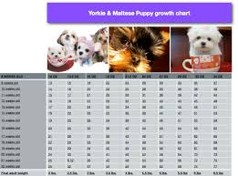 Maltese Puppy Weight Chart Image Result For Boston Terrier