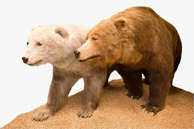 grolar bear size what ligers grolar bears and mules show scientists about evolution