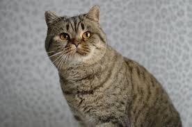limatz british shorthairs
