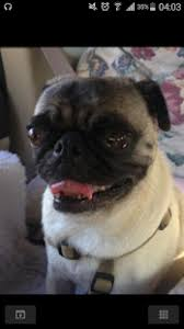 Pug Dog Vaccination Chart Pug Dog For Android Free Download And Software Reviews