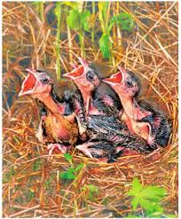 Размножение и развитие птиц Биология Птенцы выводковой птицы Потомство птенцовой птицы