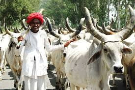 Image result for cow politics rajasthan