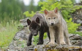 wolf puppies wallpaper. Plain Wallpaper Fullsnowwolfpups91jpg Inside Wolf Puppies Wallpaper E