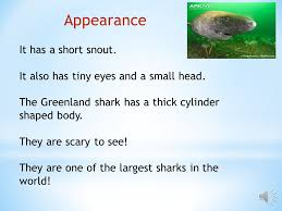 by christian habitat  greenland sharks like it very cold  4 diet  the greenland shark eats walruses  they eat polar bears and moose  they also eat fish and seals