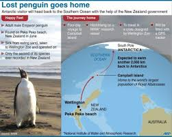 emperor penguin habitat map.  Map Graphic On The Planned Journey To Return Happy Feet A Lost Emperor Penguin  That Found Its Way New Zealand Beach Back Wild To Emperor Penguin Habitat Map E