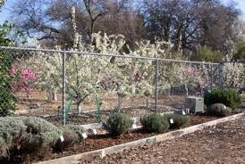 How To Build A Living Fence  Dwarf Fruit Trees Living Fence And Fruit Tree Hedgerow