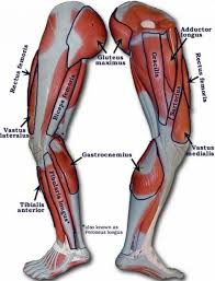 • facts about muscles • what is a muscle? Afrika Zenklas Miestas Leg Muscles Names Yenanchen Com