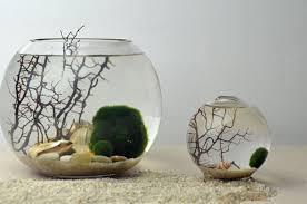 marimo terrarium japanese moss ball aquarium by pinkserissa