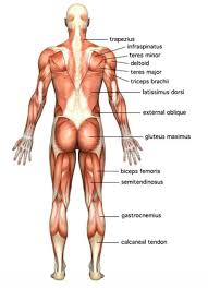 Diagram Of Muscles In The Human Body – citybeauty.info