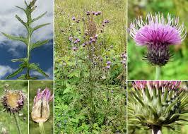 Carduus carduelis (L.) Gren. - Portale sulla flora del Parco Naturale ...