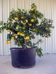 lemon tree x: high resolution patio lemon tree  growing citrus trees in containers