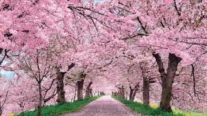 Japanese Cherry Blossom Laptop Wallpapers Top Free