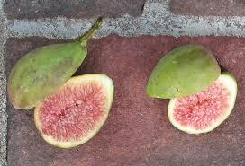 Fig Ripening Order Short Season Tips Mountain Figs