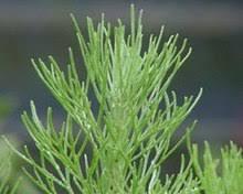 artemisia. artemisia californica (california sagebrush) leaves a