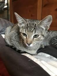 <b>Cat</b> for adoption - <b>Suki</b>, a Domestic Short Hair in Madison, WI ...