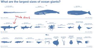 Shark Size Chart Largest Creatures In The Ocean Ocean Creatures Shark Whale