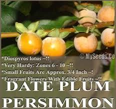 Date Plum Persimmon Diospyros Lotus Tree Seeds  COLD HARDY Lotus Fruit Tree