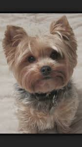 new cute haircuts for yorkies designs and colors modern wonderful with interior decorating