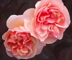 """Résultat de recherche d'images pour """"roses et jardins"""""""