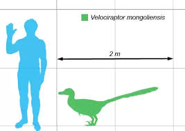 Dinosaur Weight Chart What Was The Actual Size Of A Velociraptor Quora