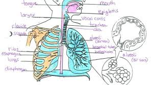 Body Regeneration Chart Label The Diagram Of The Respiratory System Below The
