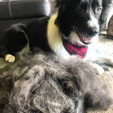 your border collie shedding