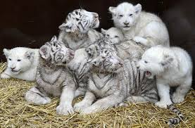 white tiger with blue eyes in snow. Fine Snow A Litter Of Four White Tiger Cubs Snuggling Up With Lion  After They On White Tiger With Blue Eyes In Snow O